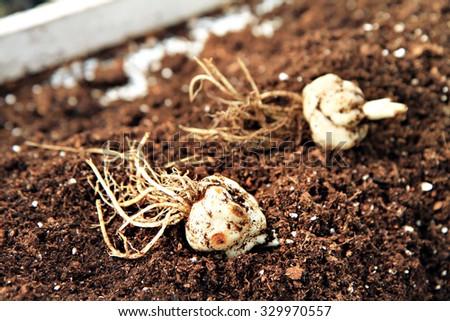 lily bulbil seeding  - stock photo