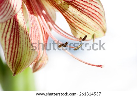 Lily flower closeup - stock photo