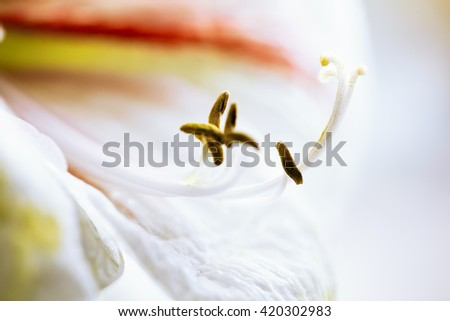 Lily flower isolated on white. Close Up. - stock photo