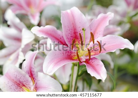 Lily flower pink is blooming in the new season in Rayong, Thailand. - stock photo