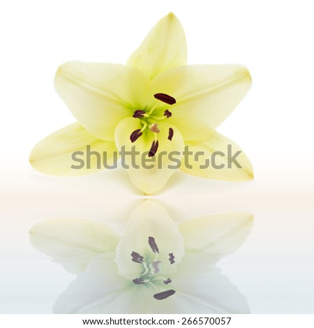 Lily flower with focus on stamen with pollen and water drop from morning dew reflected in the water - stock photo