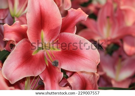 Lily flowers,closeup of red with white lily flowers in full bloom - stock photo