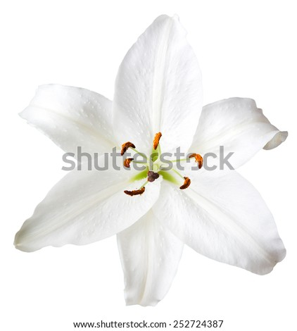 Lily flowers on white background - stock photo