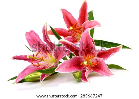 Lily isolated on white background - stock photo