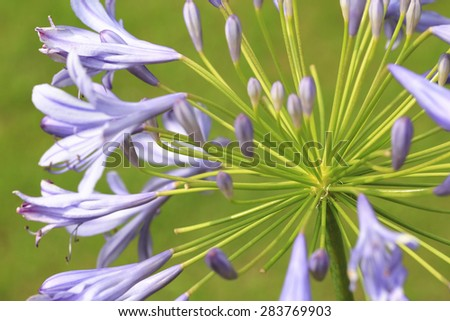 Lily of the Nile,African Lily,closeup of beautiful purple flowers and buds growing in the garden in summer with green background - stock photo