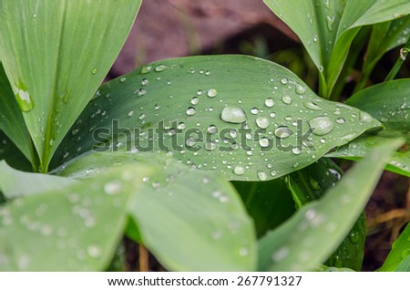 lily-of-the-valley and dew drops on the leaves - stock photo