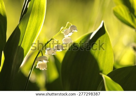 Lily of the valley at dawn. - stock photo
