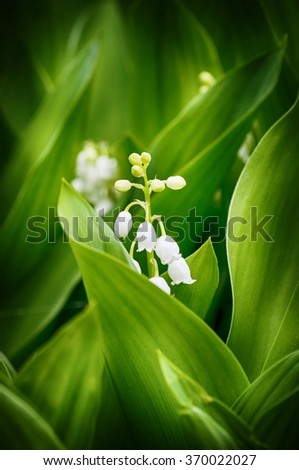Lily of the Valley in Springtime - stock photo