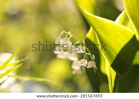Lily of the valley in the forest. - stock photo