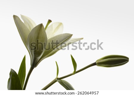 Lily open with a bud on white gradient background. - stock photo
