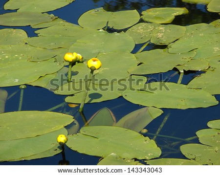 lily pad buds in pond - stock photo