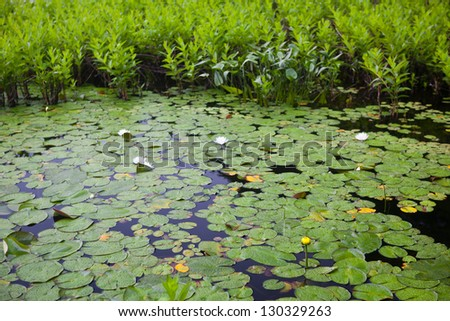 Lily pads cover the nearshore water of a freshwater pond in Cape Cod, Massachusetts.  Hundreds of ponds and lakes dot Cape Cod's sandy landscape offering habitat for many species. - stock photo