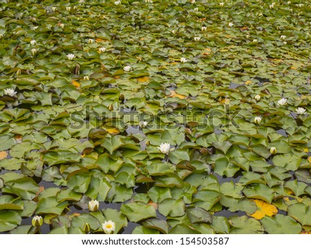 lily pads in bloom on a lake surface of a small lake in ireland - stock photo