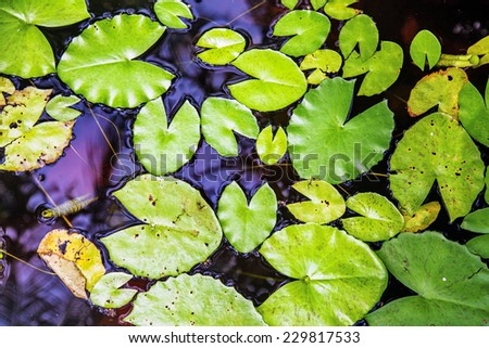lilys leaves at surface of pond - stock photo