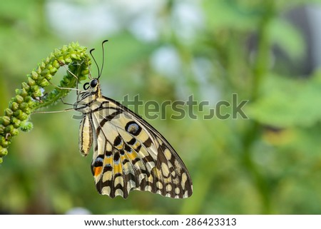 lime butterfly on flower close up - stock photo