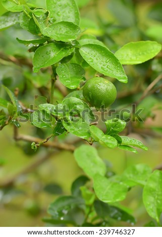 Lime green tree hanging from the branches  - stock photo