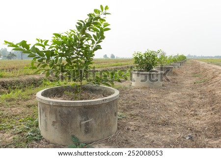 Lime green tree in Thailand.Lime green tree growing in the dry season to Thailand. - stock photo