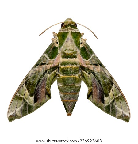 Lime Hawk Moth isolated on white background. - stock photo