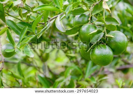 Lime tree and fresh green limes on the branch in the lime garden. - stock photo