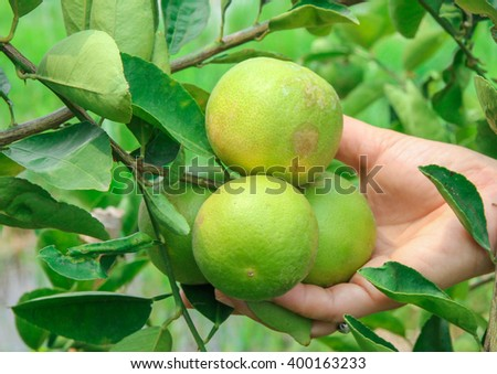 lime tree  in Thailand no.1 - stock photo