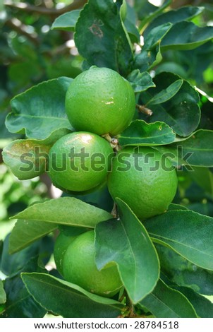 limes on tree - macro - stock photo
