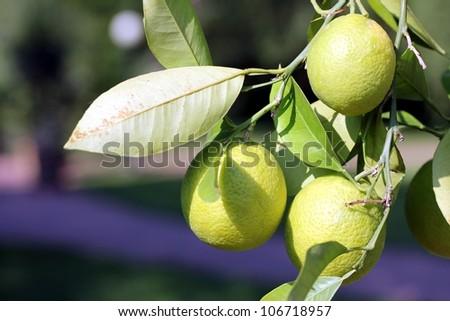 limone tree - stock photo