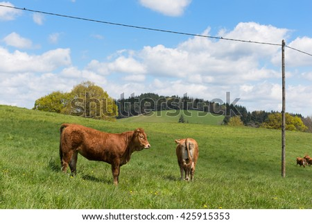 Limousin cows in landscape in France - stock photo