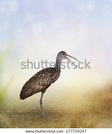 Limpkin Bird In Florida Wetlands - stock photo