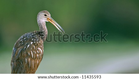 limpkin poses in florida wetland with lots of green background copy space - stock photo