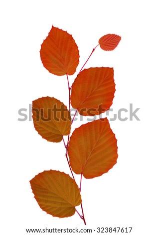 linden autumn leaves isolated on white background  - stock photo