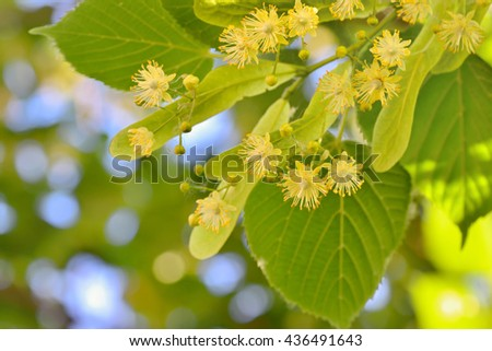 Linden flowers and linden tree in spring time - stock photo