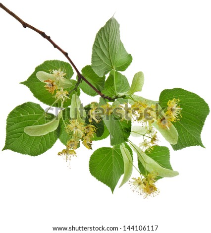 linden flowers isolated on white background - stock photo