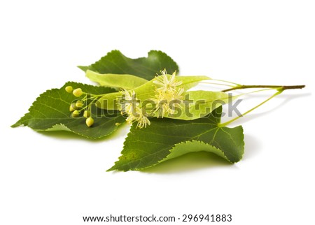 linden leaf with flowers  isolated on white background - stock photo