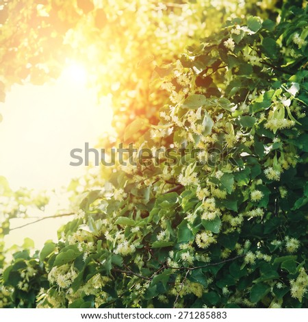 Linden Tree blossom  - stock photo