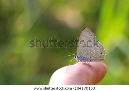 Line-blue Butterfly is drinking sweat from human finger - stock photo