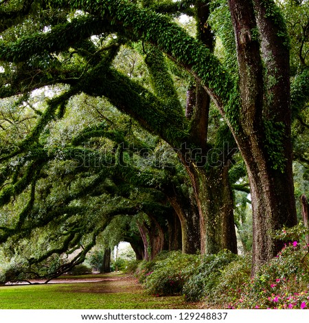 Line of ancient oak trees in park setting - stock photo