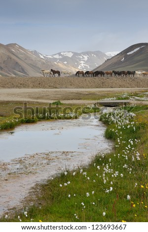 Line of Icelandic Horses walking in landscape. - stock photo