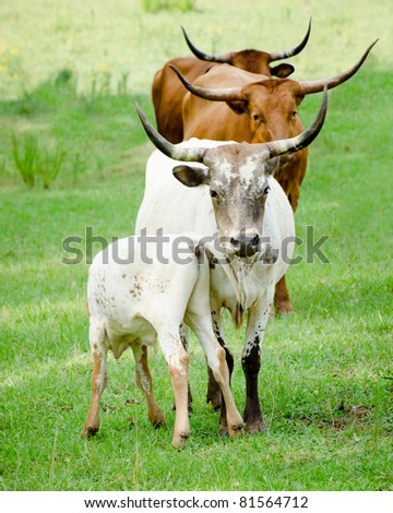 Line of longhorn cattle - stock photo
