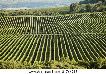 Lines of grape vines at vineyard - stock photo