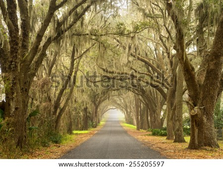 Lines of old live oak trees with spanish moss hanging down on a scenic southern country road - stock photo
