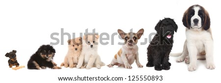 Lineup of 5 Different Breeds of Puppy Dogs on White - stock photo