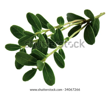 Lingonberry sprigs - stock photo