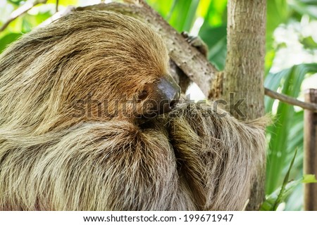 Linnaeus's two-toed sloth (Choloepus didactylus), also known as the southern two-toed sloth or unau. - stock photo