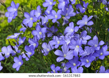 Linum blossoms, field, flax - stock photo