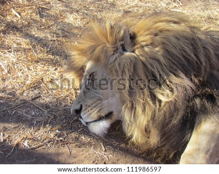 Lion. - stock photo