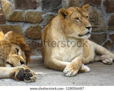 Lion and a lioness have a rest - stock photo
