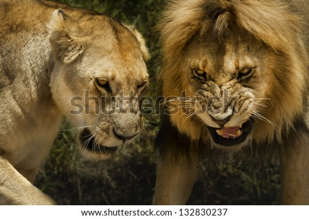 lion and lioness aggressive attack dangerous - stock photo