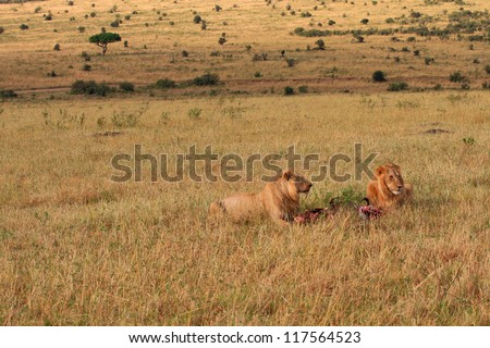 Lion and lioness feeding on the plains of Masai Mara - Kenya - stock photo