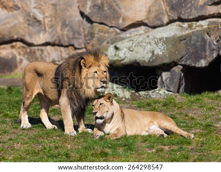 Lion and Lioness. Lion Couple.   Male and Female Lions - stock photo