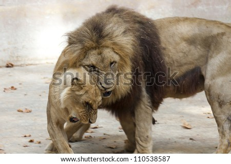 Lion and lioness playing before the dome - stock photo